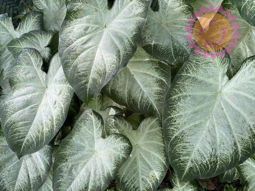 Aaron White Fancy Leaf Caladiums
