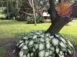 Aaron White Fancy Leaf Caladiums around oak tree