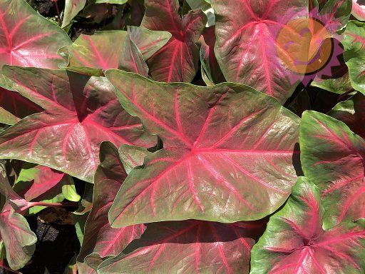 Blaze Red Fancy Leaf Caladiums