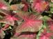 Blaze Red Fancy Leaf Caladiums