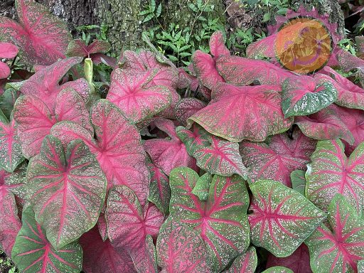 Brandywine Red Fancy Leaf Caladiums