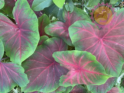 Buck Red Fancy Leaf Caladiums