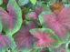 Buck Red Fancy Leaf Caladiums