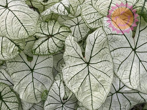 Candidum Jr White Lance Leaf Caladiums