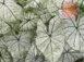 Candidum Jr White Lance Leaf Caladiums