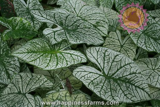 Candidum White Fancy Leaf Caladiums