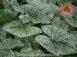 Candidum White Fancy Leaf Caladiums