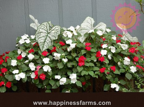 Candidum White Fancy Leaf Caladiums with impatiens