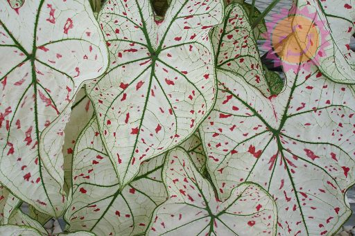 Cranberry Star White Fancy Leaf Caladiums