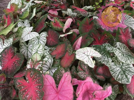 Fancy Leaf Rainbow Mix Caladiums