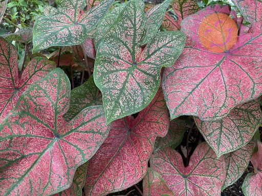 Festivia Red Fancy Leaf Caladiums