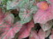Festivia Red Fancy Leaf Caladiums