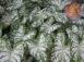 Florida Blizzard White Fancy Leaf Caladium