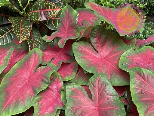 Florida Cardinal Red Fancy Leaf Caladiums