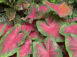 Florida Cardinal Red Fancy Leaf Caladiums