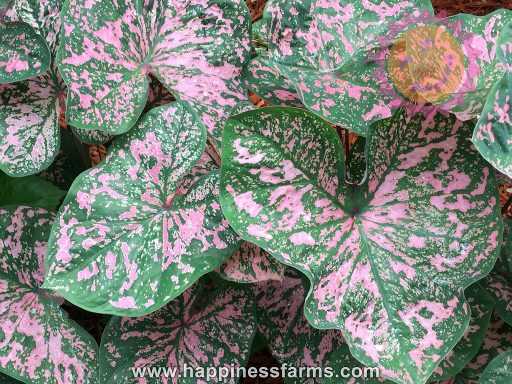 Florida Elise Pink Fancy Leaf Caladiums