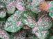 Florida Elise Pink Fancy Leaf Caladiums