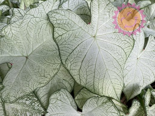 Florida Moonlight White Fancy Leaf Caladiums