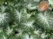 Galaxy White Fancy Leaf Caladiums