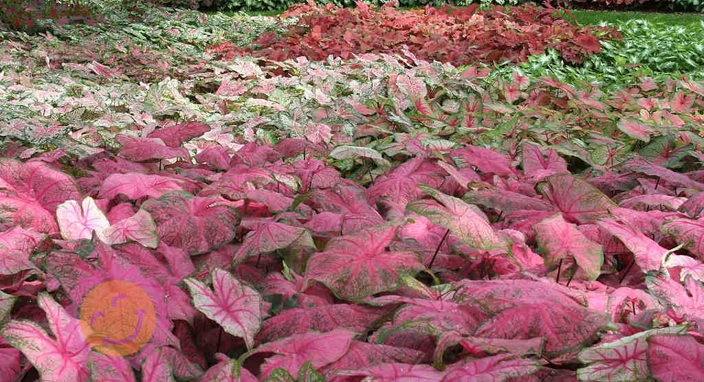 Happiness Farms Caladiums Fields