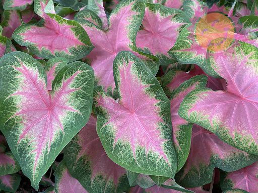 Kathleen Pink Fancy Leaf Caladiums