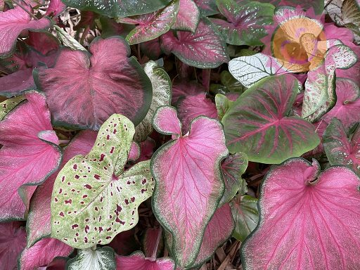 Lance Leaf Rainbow Mix Caladiums