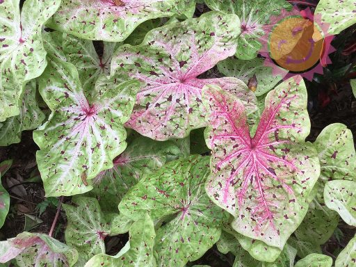 Miss Muffet White Lance Leaf Caladiums