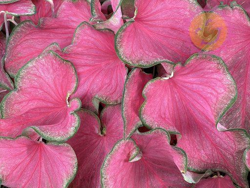 Passionista Pink Lance Leaf Caladiums