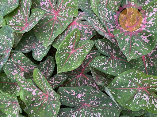 Pink Beauty Pink Fancy Leaf Caladiums