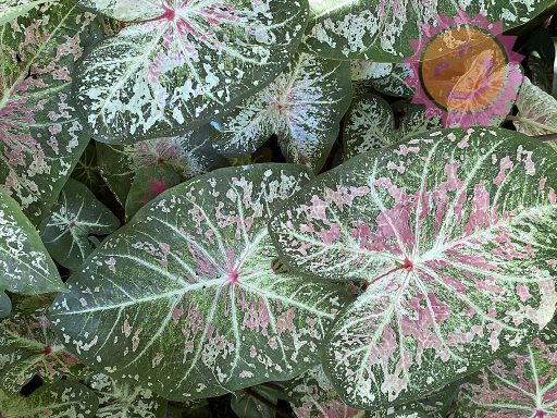 Pink Cloud Pink Fancy Leaf Caladiums