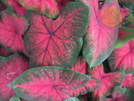 Postman Joyner Red Fancy Leaf Caladiums