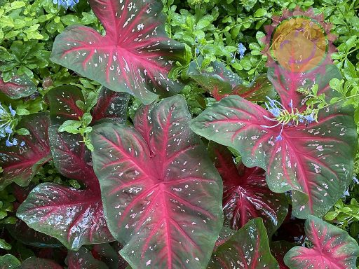 Red Flash Red Fancy Leaf Caladiums