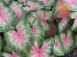 Rosebud Pink Fancy Leaf Caladiums