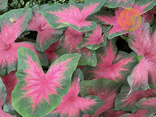 Royal Flush Red Fancy Leaf Caladiums