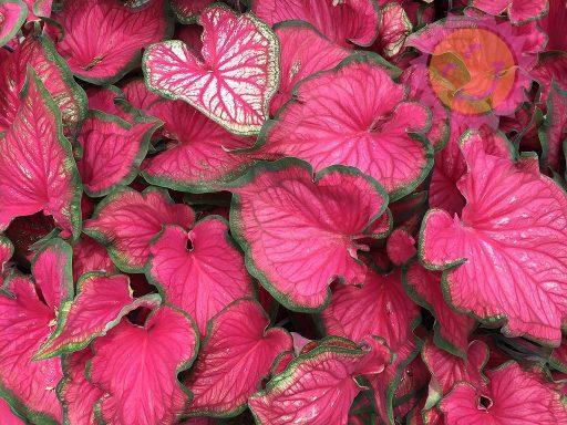 Sizzle Pink Lance Leaf Caladiums