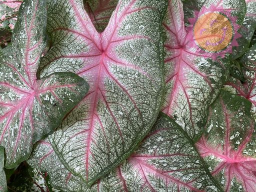 Summer Pink Fancy Leaf Caladiums