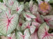 White Queen White Fancy Leaf Caladiums